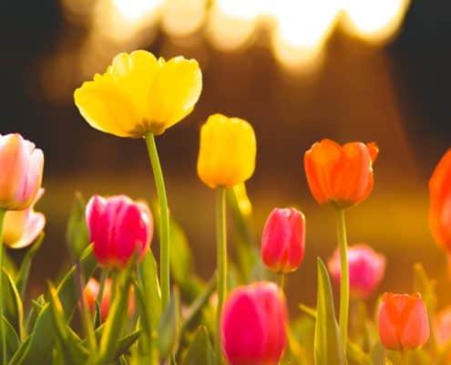 saerligt sensitive orkideer tulipaner